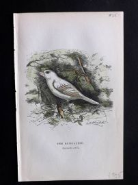 Gedney 1888 Antique Hand Col Bird Print. The Bengalese.